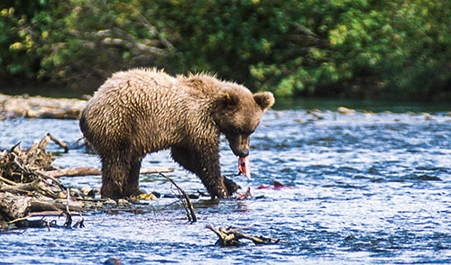 Alaskan Grizzly munching on a red salmon