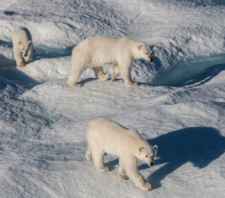 Nat. Geo Explorer - Polar Bears