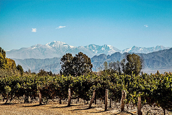 Mendoza grape vines in the sun